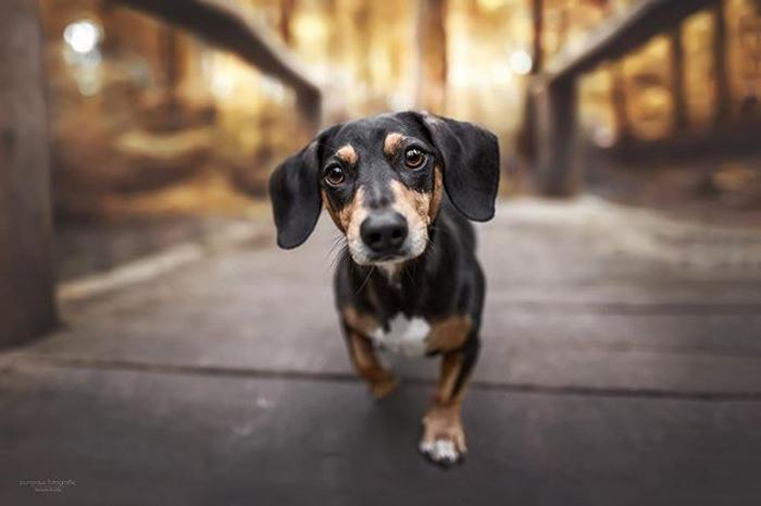 Um retrato de cachorro bassê fofo