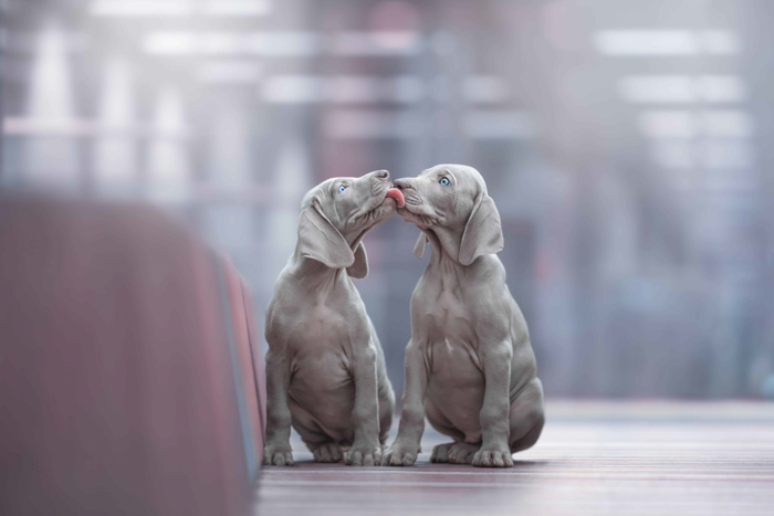 Sweet dog photography of two grey dogs licking each other