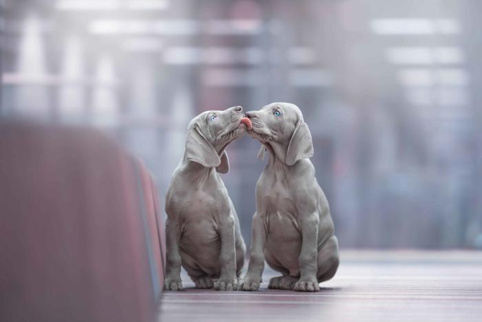 Foto de cachorro doce de dois cachorros cinzentos se lambendo