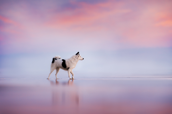 Dreamy photo of a dog walking on a beach at sunset