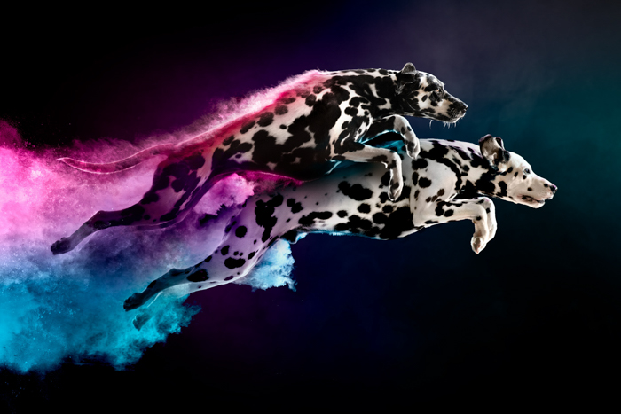 Cool pet photography of two dalmatians jumping with colored powder trails