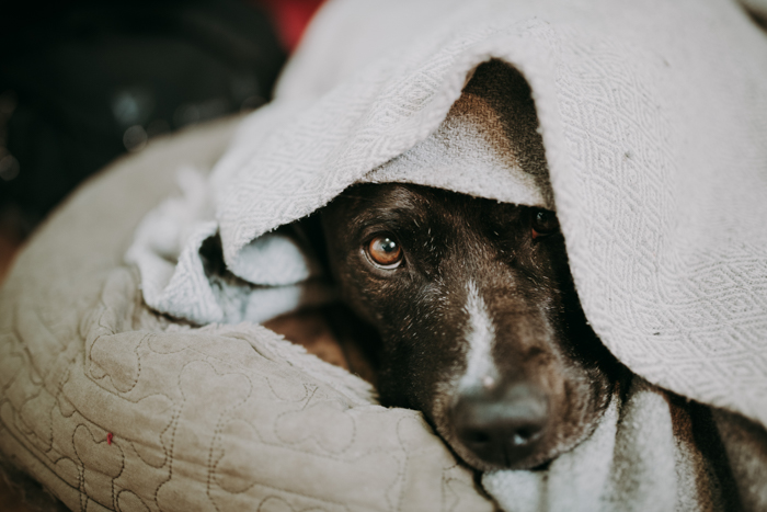 Pet portrait of a cute dog wrapped in a towel