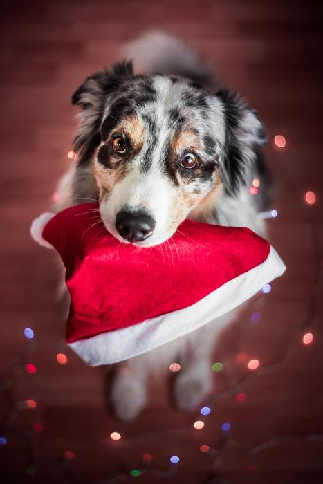 Um lindo retrato de Natal de um cachorro e um chapéu de Papai Noel
