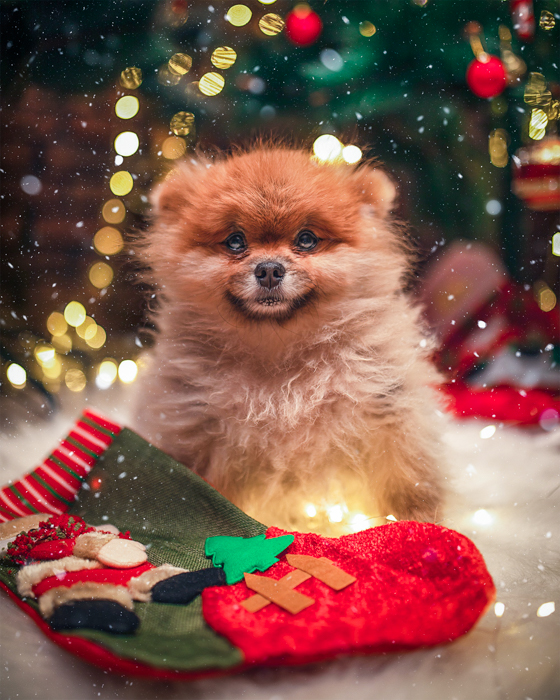 Holiday pet photos of a fluffy dog in front of the christmas tree