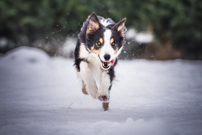 Holiday pet portrait of a cute dog running in the snow
