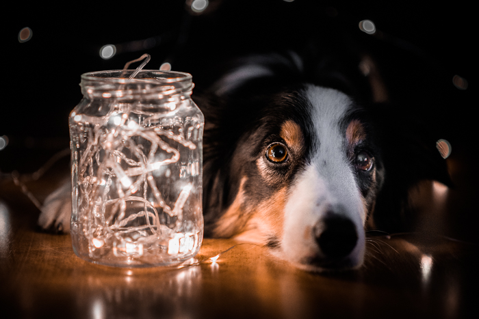 Holiday pet photos of a collie dog posed by Christmas lights