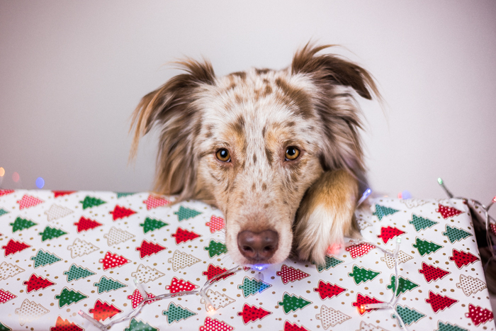 Um lindo retrato de Natal de um cachorro e um presente de Natal