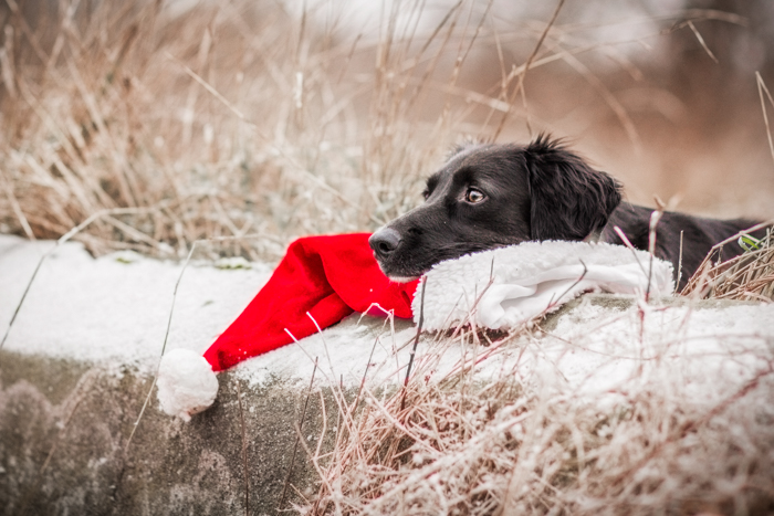 Cute holiday pet photo of a dog resting on a santa hat