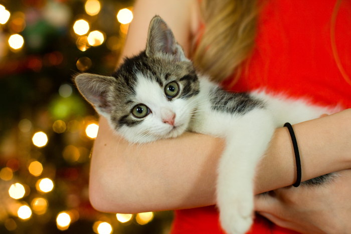 A cute cat holiday photo by the christmas tree