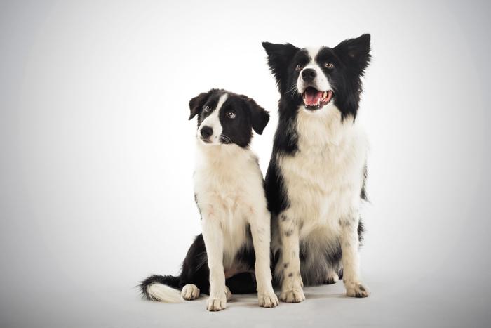 Retrato fofo de dois cães pretos e brancos