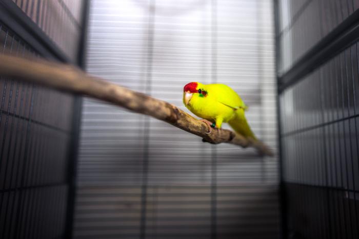 Um pássaro amarelo em uma gaiola.