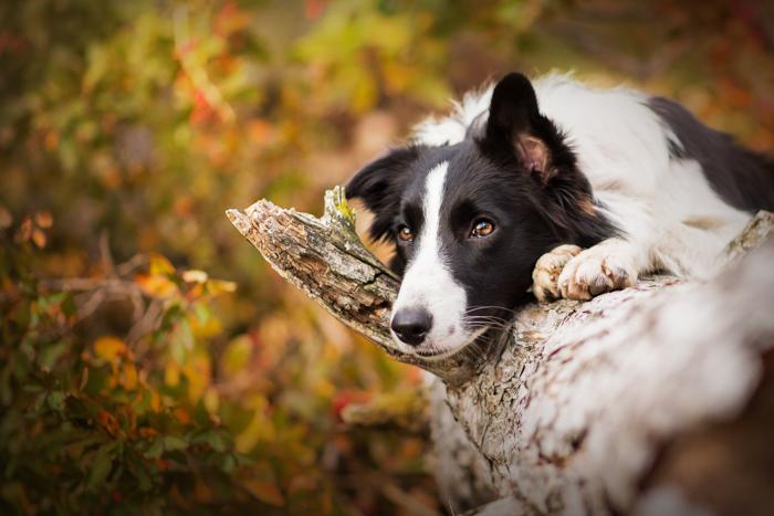 Retrato de animal de estimação fofo de um cachorro preto e branco descansando em uma árvore