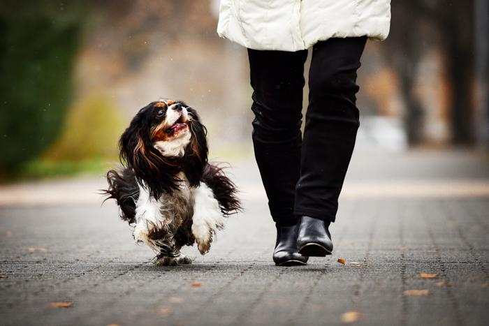 Um lindo cachorro preto e branco correndo ao lado de seu dono.