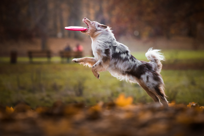 Retrato fofo de um cachorro preto e branco pegando um frisbee