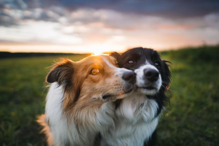 Dois cães no campo