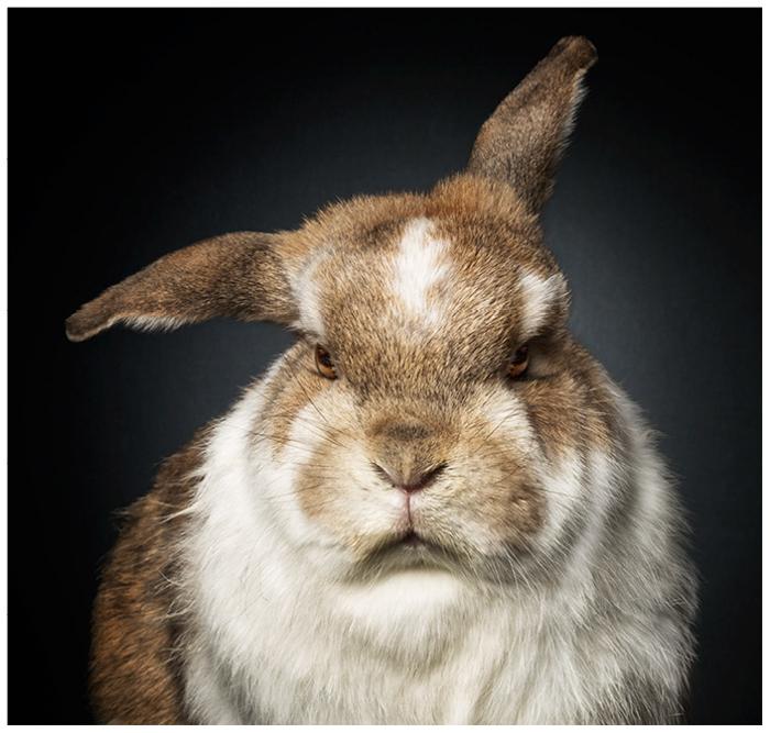Imagem aproximada de um coelho peludo com um rosto mal-humorado