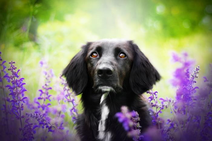 Fotografia fofa de um cachorro preto entre flores roxas