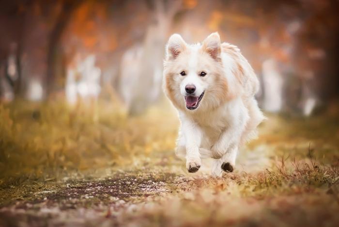 Um cachorro correndo em direção à câmera.