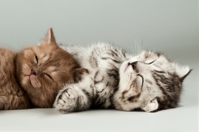 Cute pet portrait of two kittens relaxing