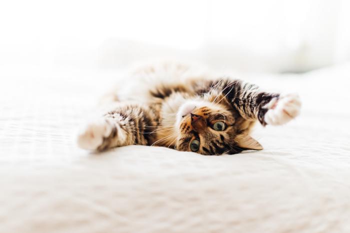 Fotografia de um animal de estimação fofo de um gato malhado em uma cama
