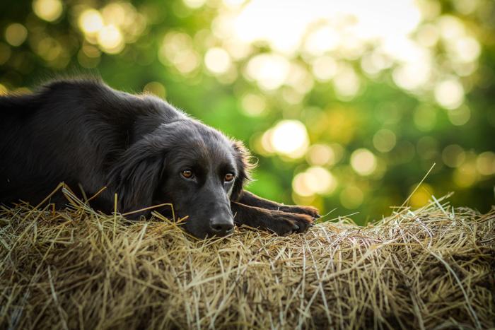Um cachorro preto deitado no feno