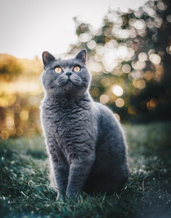 Um gato cinza fofo ao ar livre.