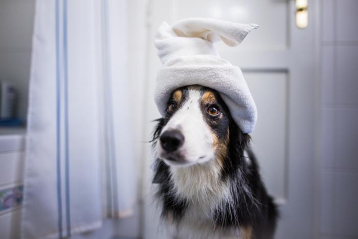 Bela foto de um cachorro com uma toalha na cabeça.