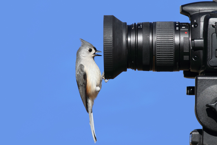 A bird perched on the lens of a DSLR wildlife camera