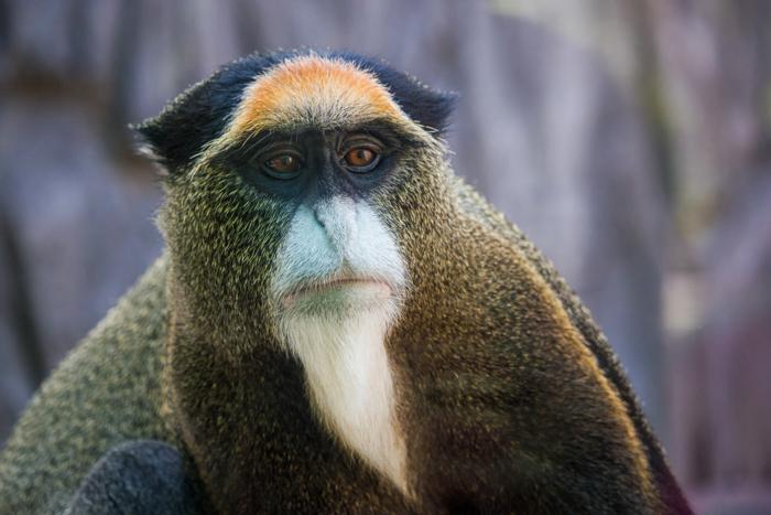 Close-up retrato da vida selvagem de um macaco Brazza