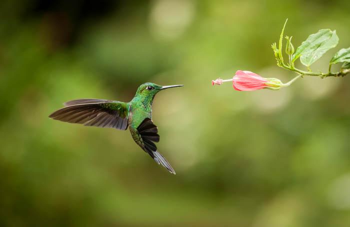 Fotografia da vida selvagem de um colibri com alta velocidade do obturador