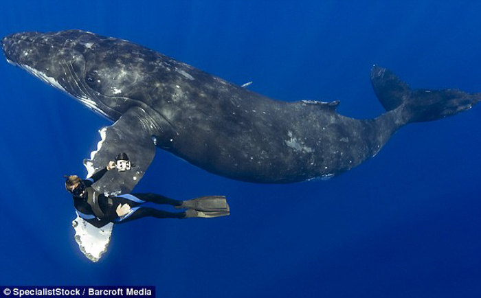 A whale swimming with a diver