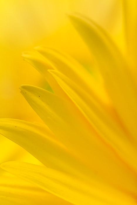 macro yellow flower